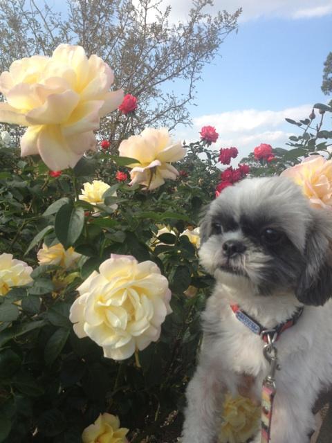 愛犬とバラ園