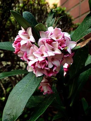 沈丁花の花言葉